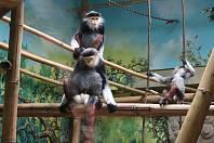 Chloubou zoo Chleby jsou opice langur