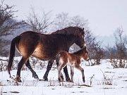 Divocí koně jsou zvyklí pást se i v zimě.