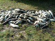 Úhyn ryb v tůni Doubka u Ostré