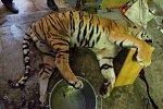 Šílené podmínky. Berousek prodával tygry Vietnamcům kvůli čínské medicíně