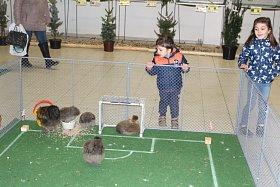 Výstava Náš chovatel představí králíky i poštovní holuby