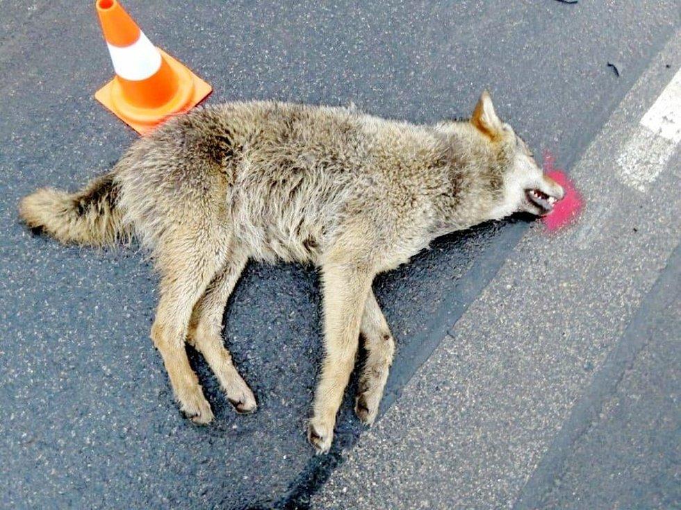 Sražený vlk u Pískové Lhoty.