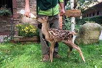 Koloušek jelena, o nějž pečují záchranáři na Huslíku.