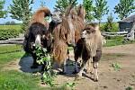 Malá velbloudice dostane jméno od členů skupiny Vypsaná Fixa.