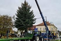 Před víkendem usadili druhý milovický vánoční strom u kostela.