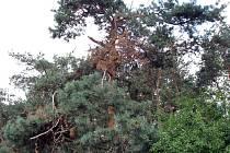 Suchá borovice v Pískové Lhotě u hřbitova