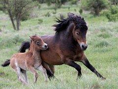 Hřebec divokých koní Firestarter s jedním ze svých potomků.