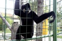 Gibbon Kuba