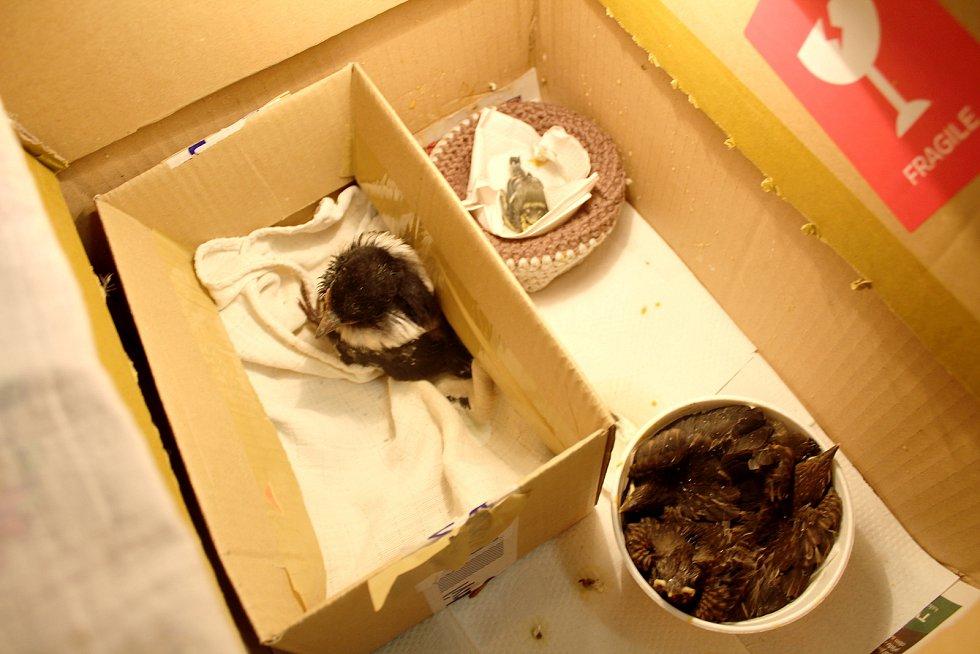 V záchranné stanici na Huslíku se starají o zhruba padesát ptačích mláďat.