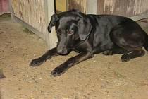 Černý kříženec labradora