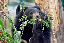 Medvědi himalájští slaví rok v chlebské zoo.