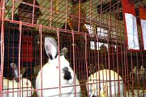 Na výstavě bylo k vidění více než 200 králíků.