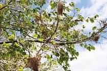 Stromy na hradecké silnici jsou napadené zámotky motýlka.