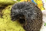 Do záchranné stanice na Huslíku se v posledních dnech dostali hned tři ježci se sečnými zraněními od křovinořezů.