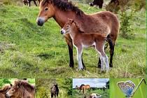 Divocí koně z Milovic jsou hvězdami plakátů.