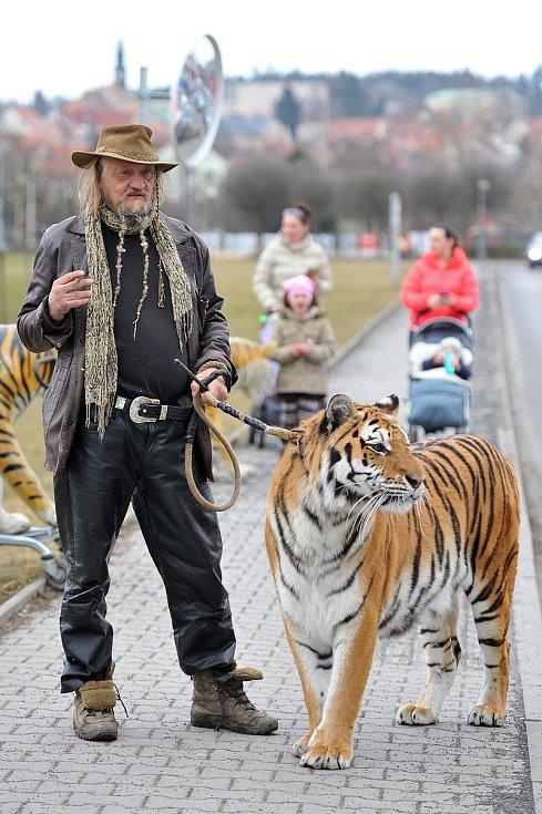 Jaromír Joo v České Lípě na procházce s tygrem.