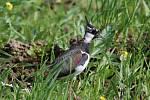 Mezi ptačí migranty, kteří se k nám po zimě vracejí jako první, patří například čejky chocholaté.