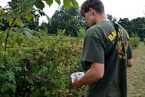 Plantáže ostružin jsou cílem řady milovníků této plodiny. keře jsou navíc bez trnů.