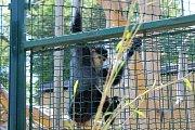 Chlebská zoo slaví 20 let. Představila i vzácné opičky langur veřejnosti