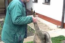 Výsledkem řádění dvou zabijáků na poli u Střihova je uštvaná mladá srna.