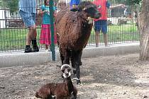 Chlebská zoo se od úterka pyšní novým přírůstkem v podobě malé lamičky Lucinky.