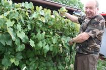 Pěstitel Jiří Vrzal u keříku obaleného vínem