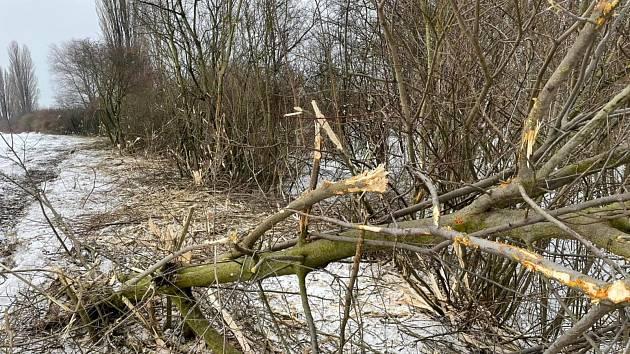 Výsledky současného kácení, než jej zastavila Inspekce životního prostředí.