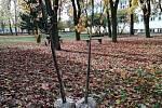 Po deseti stromech na jaře bylo i nyní u nemocnice vysazeno deset nových stromů.