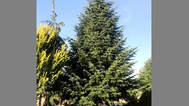 Vánoční strom pro nymburské náměstí roste v Jizbicích.
