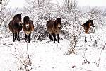 Milovické rezervace divokých koní, zubrů a praturů funguje už šest let.