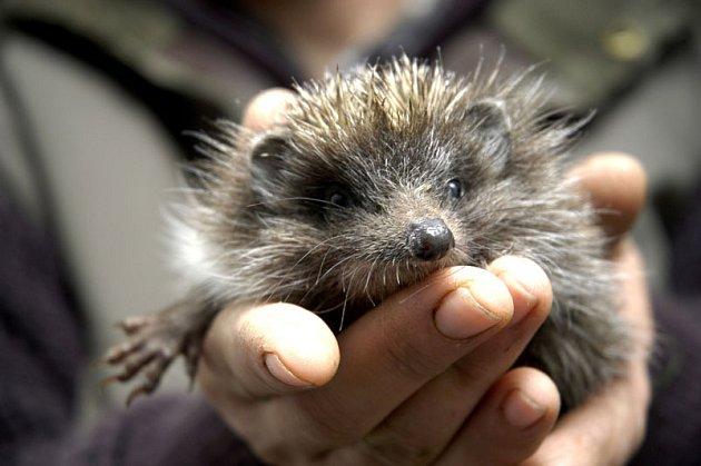 V Choťánkách zachránili tříměsíční mládě ježka