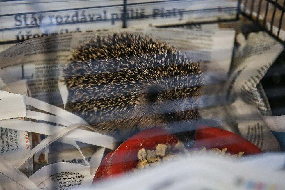 Hendikepovaní ježci v záchranné stanici Huslík u Poděbrad