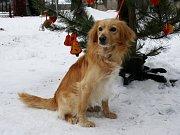 Kříženec – pes, stáří 2 roky, vyrovnaný přátelský pes, zná dobře povel sedni. Doporučený k domku se zahrádkou, bude i dobrým hlídačem.