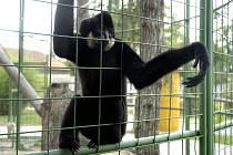 Jeden z gibonů v chlebské zoo