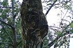 Velké bílé kokony vytvořily housenky vzácného motýla a zároveň škůdce na více než desítce třešní u Poděbrad.