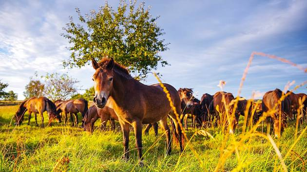 Stádo divokých koní v rezervaci u Milovic.
