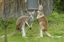 Domovinou klokanů je samozřejmě Austrálie, dva nové obyvatele ale chlebská zoo získala od spřátelené jihlavské zoo.