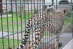 Gepardice Mzuri má v chlebské zoo nový výběh a ložnici