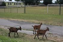Na hřišti Polabanu se prohánějí kozy