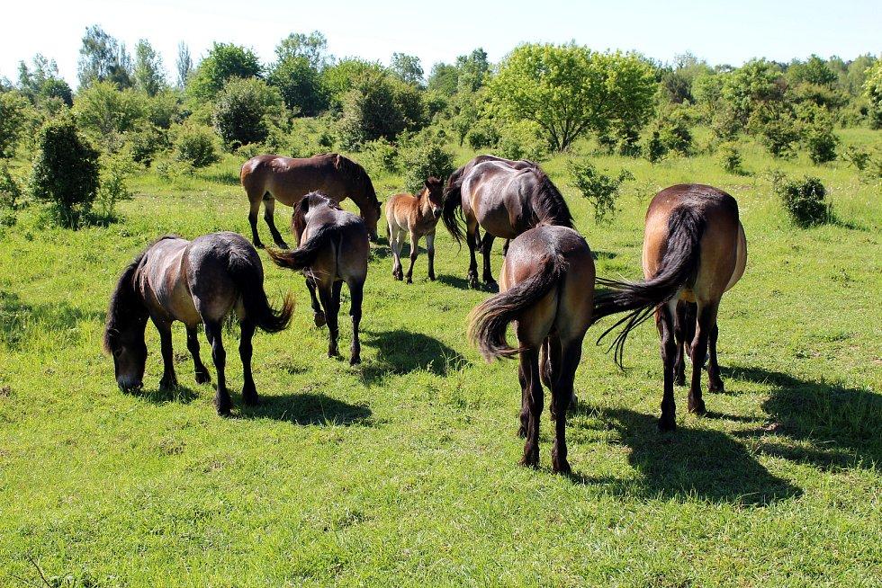 Hříbě divokého koně dostalo jméno po slovanském bohu blahobytu - Krodo.