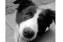 Hledané štěně z Budiměřic