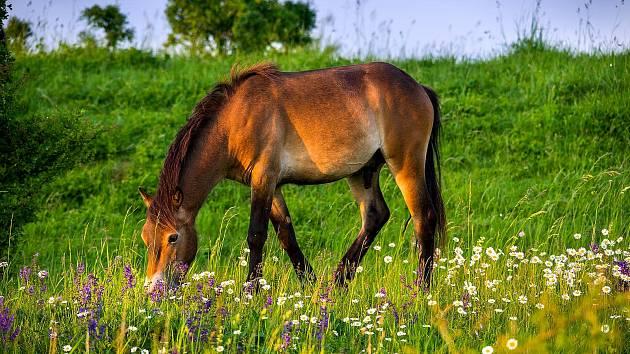 Divocí koně pomáhají i nové květeně u Milovic.