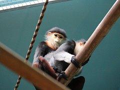 První Vánoce langurů duk v chlebské zoo