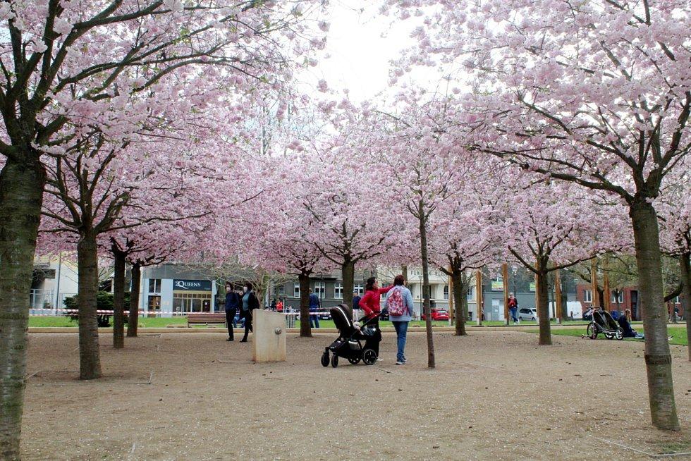 Rozkvetlé sakury v lázeňském parku v Poděbradech.