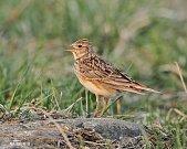 Na zpěv skřivanů polních si lidé letos museli počkat o něco déle. Ptáky zastavily mrazy.