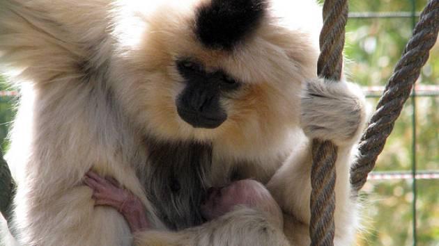 Chlebská zoo se může v těchto dnech pochlubit novými přírůstky. Vedle lamích mláďat si mohou návštěvníci prohlédnout například malé prasátko nebo kůzlata. Největší chloubou zoo je však malý opičáček gibon.