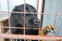 Belgický ovčák Alan dlouhosrstý, černo – hnědý. Nalezen na ulici Maršála Koněva, byl přivázaný u autobusové zastávky. Je hodný, přátelský a mazlivý.