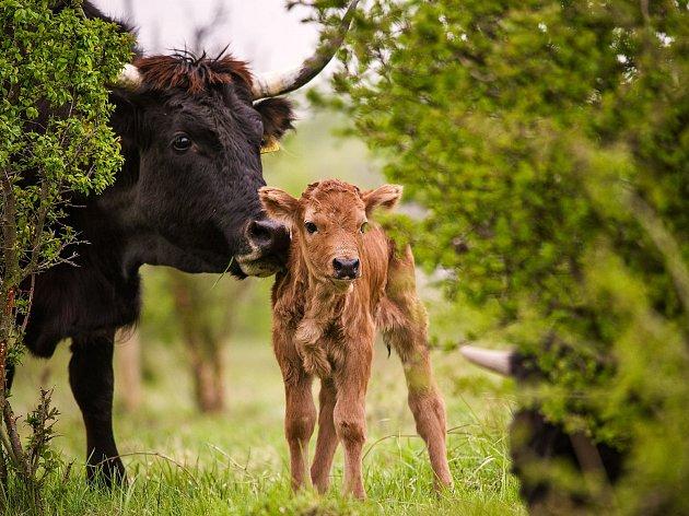 První dva letošní přírůstky zaznamenali ochránci přírody ve stádu praturů na pastvině u Milovic.