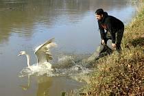 Vyléčené labutě se vrátily na Labe.