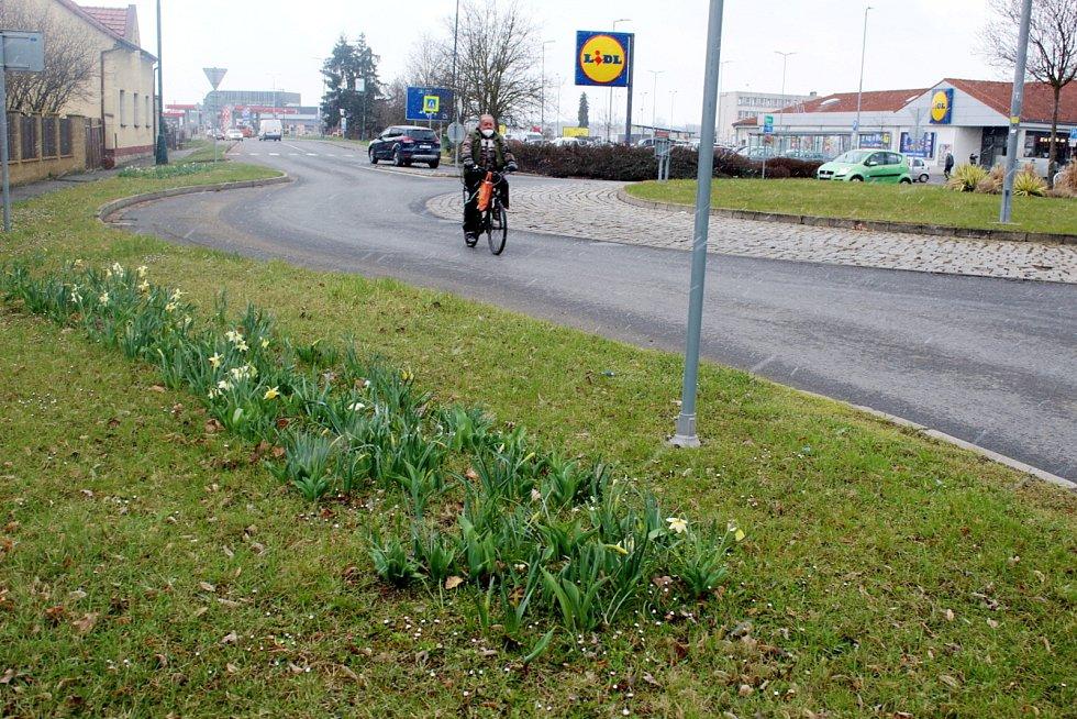 Jarní květiny u kruhového objezdu na Kolínské ulici v Nymburce.